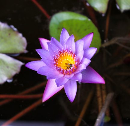 fleur nénuphar étang