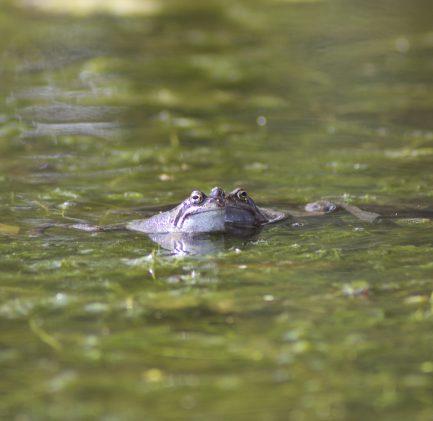 grenouille mare étang eau croasse amphibiens